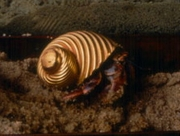 Gold or Platinum Hand Blown Glass Hermit Crab Shell