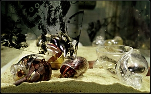 Hermit Crab in Glass Shell