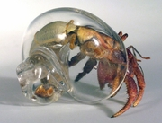 Large Clear Hand Blown Glass Hermit Crab Shell