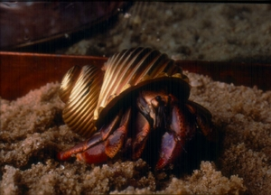 Large Gold or Platinum Glass Hermit Crab Shell