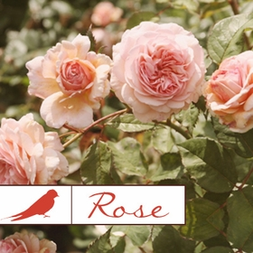 Rose Collection