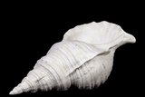 Artistic & Fabulous Resin Seashell Showpiece in White