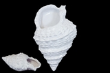 Elegant & Skillfully Sculpted Beautiful Ceramic Shell in White