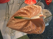 Anthurium Cheer