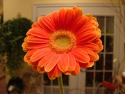 Orange Mini Gerbera