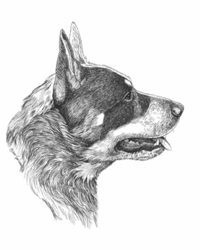 "Australian Cattle Dog ""Head Study"" Limited Edition Print"