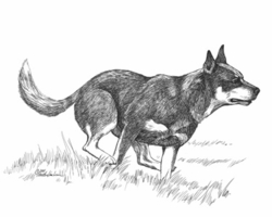 "Australian Cattle Dog ""Running"" Limited Edition Print"