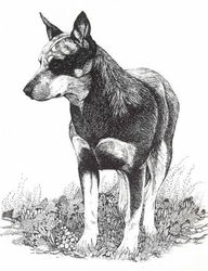 "Australian Cattle Dog ""Standing Pretty"" Limited Edition Print"