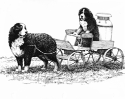 "Bernese Mountain Dog ""Carting"" Limited Edition Print"