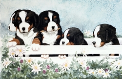 "Bernese Mountain Dog  ""Five Little Guys in a Box"" Limited Edition Print"