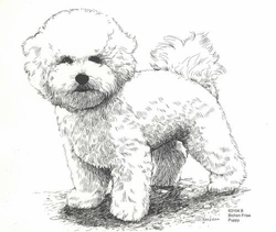 "Bichon Frise ""Puppy Standing"" Limited Edition Print"