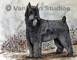"Bouvier de Flandres  ""Gentleman Grey"""