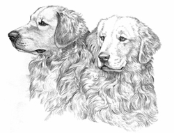 "Golden Retriever ""Head Studies"""