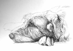 """Irish Wolfhound Pen and Ink Drawing """"Ready for a Nap"""" Sleeping"""" SOLD"""