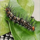 Julia Butterfly Caterpillars-Dryas iulia