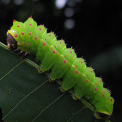 Luna Moth Caterpillars-Wild Saturniid Silk Moth