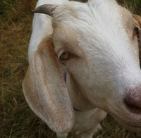 What are the benefits of goats milk in bath products?