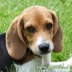 Beagle Dog theme Wall Decal