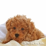 Poodle Dog theme Wall Decal
