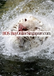 Royalty Free Photograph of a White Tiger engaging in Water Play