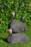 Guinea Hen Airline Breasts /  2 Breasts 6 to 8 oz. Each