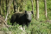 Wild Boar  Pig - 21 to 30 Lbs.