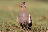Wild Scottish Partridge/ 8 to 10 oz. Each