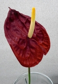 Anthurium Spray Small - 26in - Pkg of 12 - Red