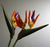 Bird of Paradise Small Spray Pkg of 12 - 29in