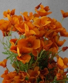 California Poppy Spray Mini  - 26in - Pkg of 12 - Orange