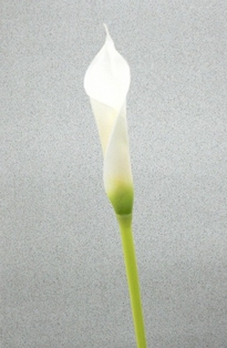 http://ep.yimg.com/ay/yhst-132146841436290/calla-lily-bud-spray-28in-white-box-of-24-2.jpg