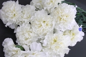 Carnation Spray - 27in - Box of 12 - Cream