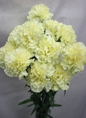 Carnation Spray - 27in - Box of 12 - Cream/White