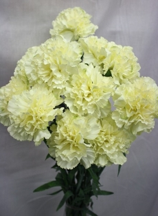 http://ep.yimg.com/ay/yhst-132146841436290/carnation-spray-27in-box-of-12-cream-white-2.jpg