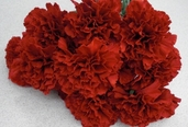 Carnation Spray - 27in - Box of 12 - Red