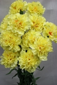 Carnation Spray - 27in - Box of 12 - Yellow