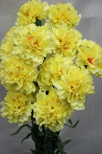 http://ep.yimg.com/ay/yhst-132146841436290/carnation-spray-27in-box-of-12-yellow-2.jpg