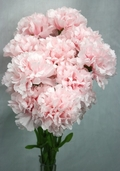 Carnation Spray Large 17 in - Pkg of 24 - Pink