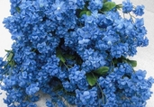 Double Baby's Breath Spray 19in Box of 24 - Blue
