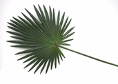 Fan Palm Frond - 30in Green