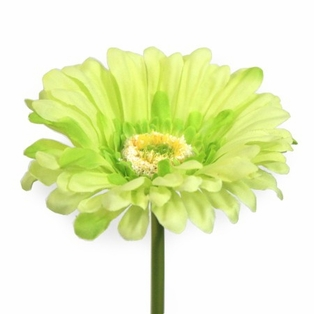 http://ep.yimg.com/ay/yhst-132146841436290/gerbera-daisy-large-spray-19-inch-pkg-of-12-soft-green-3.jpg
