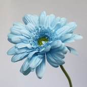 Gerbera Daisy Medium  Spray 21.5in - Pkg of 12 - Turquoise