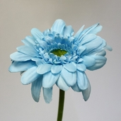 Gerbera Daisy Small Spray  21.5 in - Pkg of 12 - Turquoise
