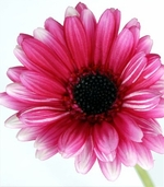 Gerbera Daisy Spray - 25 in - Fuchsia Pink