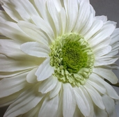 Gerbera Daisy Spray - 29 in - Box of 12 - Cream