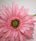 Gerbera Daisy Spray - 29 in - Box of 12 - Pink