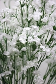 Gypsophila Spray - 23.75in - Box of 6 - White