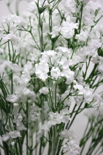 http://ep.yimg.com/ay/yhst-132146841436290/gypsophila-spray-23-75in-box-of-6-white-2.jpg