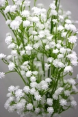 Gypsophila Spray 26in - Box of 12 - White