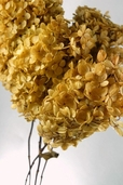 Hydrangeas Preserved Golden Yellow Stem - Clearance
